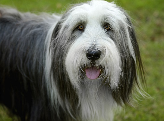 Bearded Collie - FrizeMedia