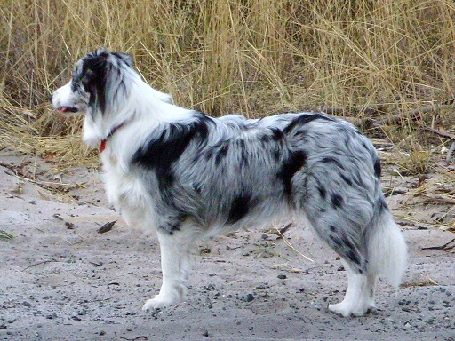 Border Collie Blue Merle - FrizeMedia