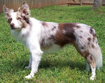 Border Collie Red Merle - FrizeMedia