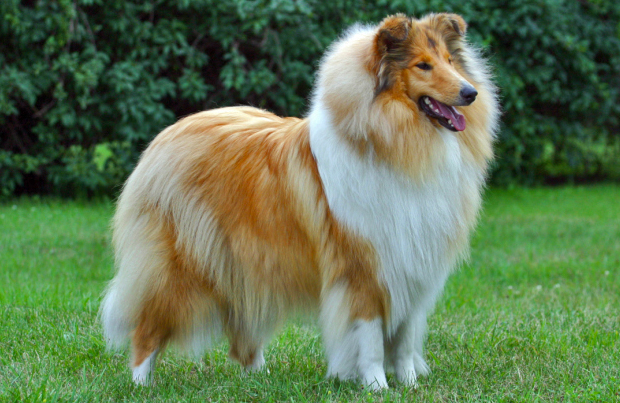 The Collie dog makes an excellent sporting dog,and can be taught to do the work of the Pointer and the Setter