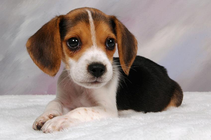 dogs - Beagle Puppy - Pets - FrizeMedia