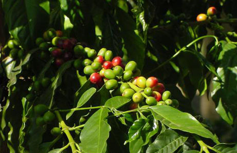 History Of Coffee - FrizeMedia - Informative And Engaging Content - Charles Friedo Frize