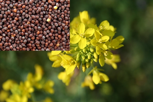 #Mustard - Versatile Plant With #Health Benefits #food #FrizeMedia